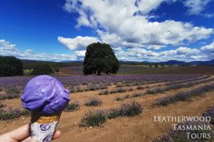 タスマニア写真撮影ツアー ブリッドストウラベンダーファーム
