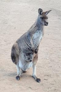カンガルーボノロング野生動物園