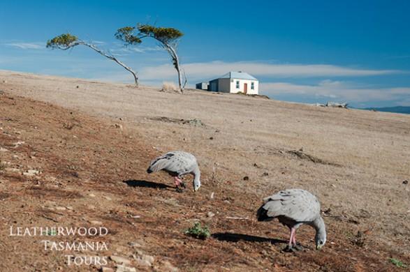 マリア島タスマニア:ケープバッレングース(鳥)