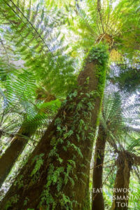 マウントフィールド国立公園ツアー・シダの木