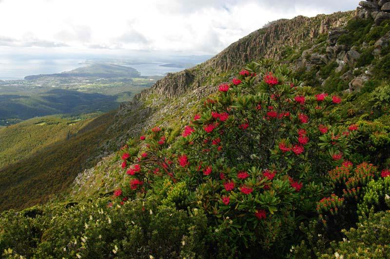 タスマニア高山植物・ワラタ