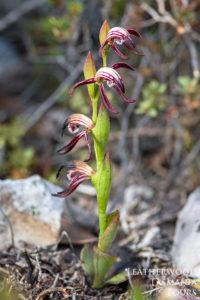 タスマニアワイルドフラワー Red Beaks Orchid