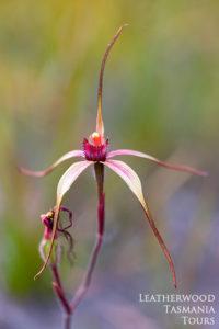 タスマニアワイルドフラワー Spider Orchid
