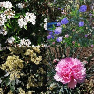 タスマニア花
