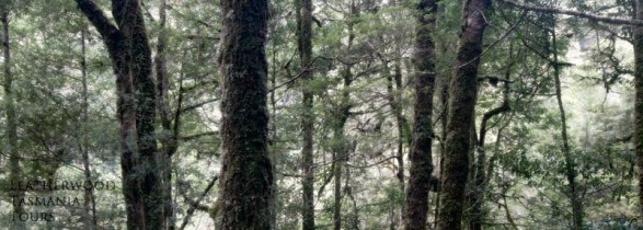 ターカイン原生林タスマニア