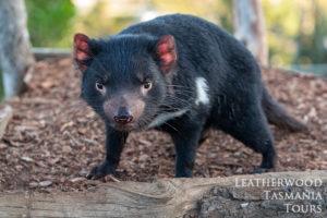 タスマニアンデビルボノロング野生動物園
