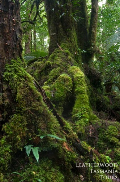 タスマニア大自然 原生的な森 アッパーフロレンタインバレー